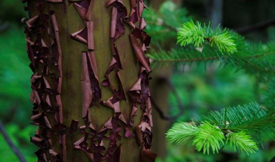 arbutus tree reduced size