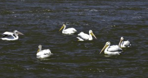 Pelicans resting at Portage